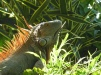 Iguane costaricien